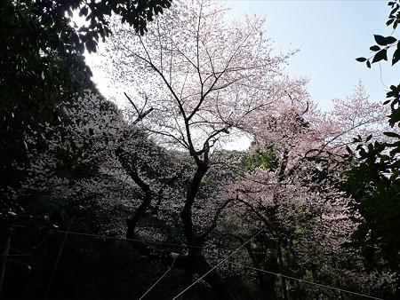 虎尾桜(3)