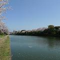舞鶴公園の桜(7)