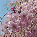 舞鶴公園の桜(19)