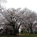 Photos: 志高湖の桜(5)