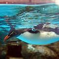 Photos: 空飛ぶペンギン?