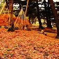 Photos: モミジの絨毯