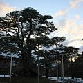 Photos: 兼六園 根上の松