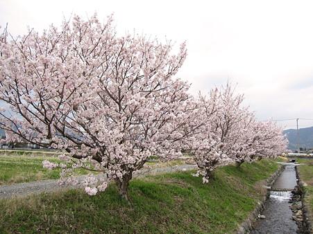 春めき桜(1)ふくざわ公園周辺