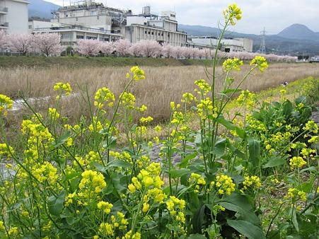 春めき桜(7)幸せ道