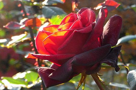 Rose_バルカロール (1)