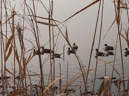 手賀沼と水鳥