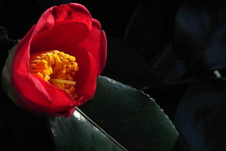 野菊の墓の椿