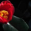 Photos: 野菊の墓の椿