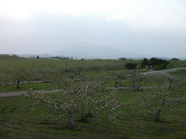 110516りんごの木と岩木山