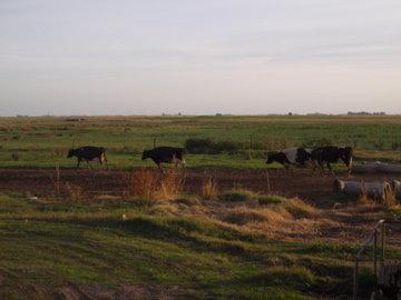 牛たちの帰宅