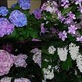 写真: 紫陽花たち