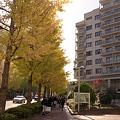 写真: 並木坂のイチョウ 二眼編 02