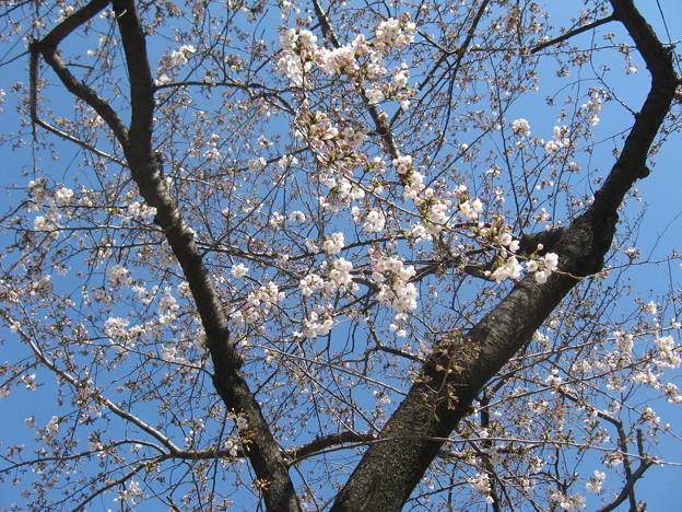写真: 桜は五分咲きくらいかな