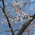Photos: 桜は五分咲きくらいかな