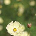 写真: 昭和記念公園・コスモス06