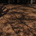 写真: 砧公園・落葉