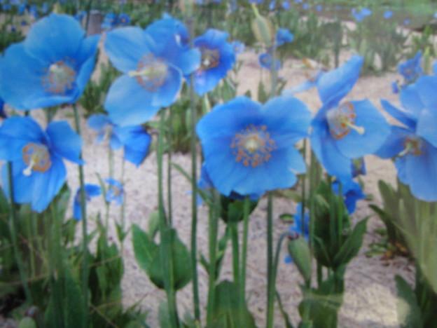 ヒマラヤブルーのケシの花