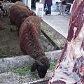 Photos: 生きている羊と死んでいる羊